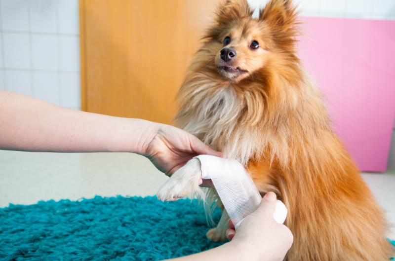 A Pomeranian dog is having one of its leg bandaged.