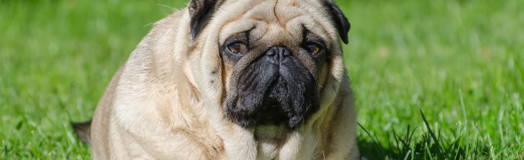 An overweight pug on grass looks into the camera.