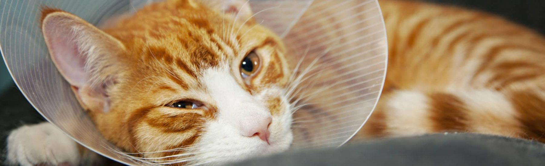 A ginger cat in a cone laying and looking in the distance.