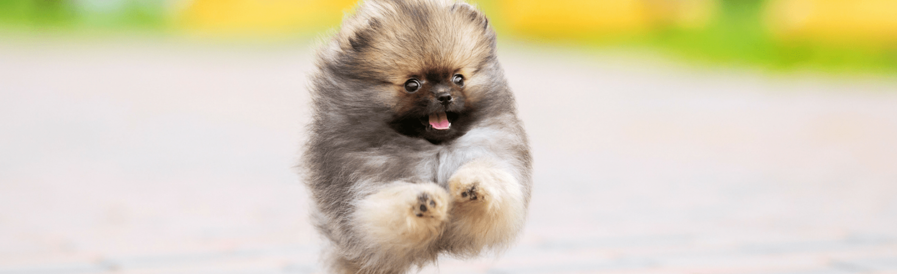 A super fluffy small dog running at the camera with its tongue out.