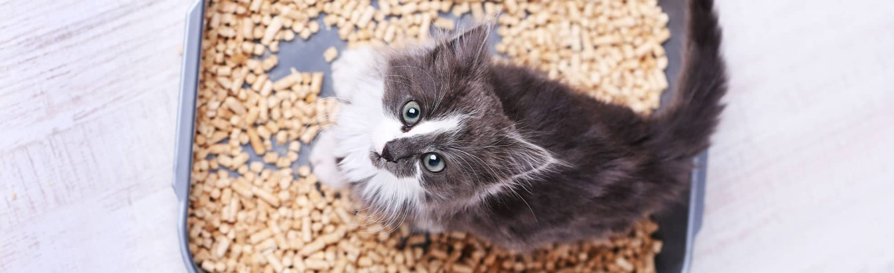 A cat looks up standing on a tray of cat food.