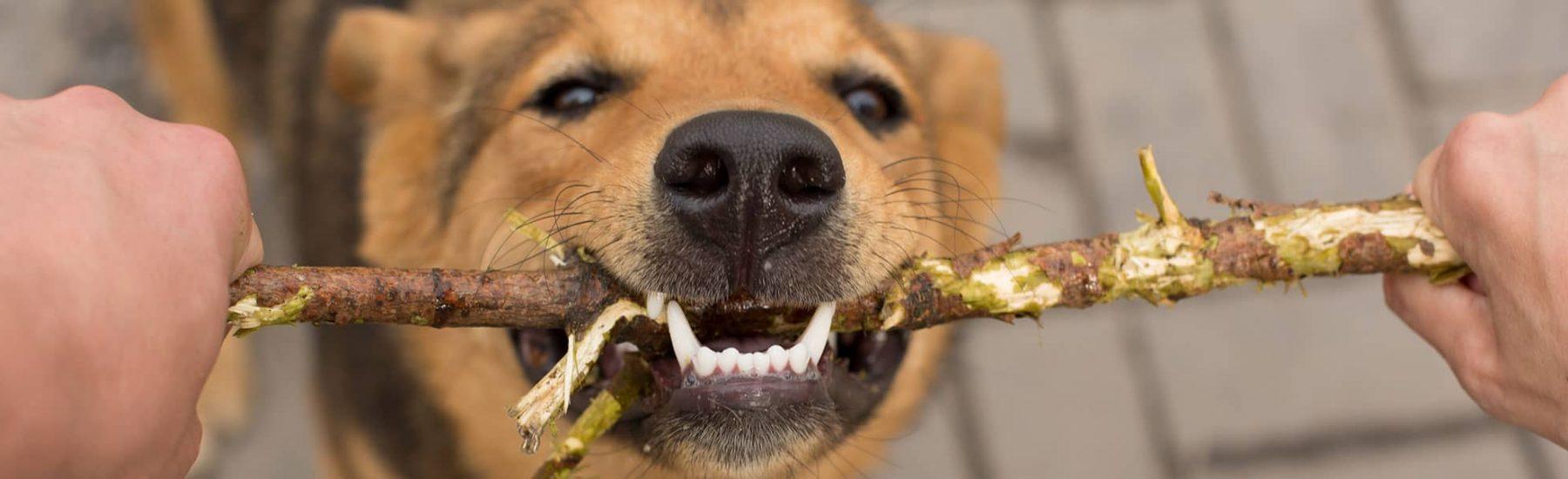 A dog biting a stick.